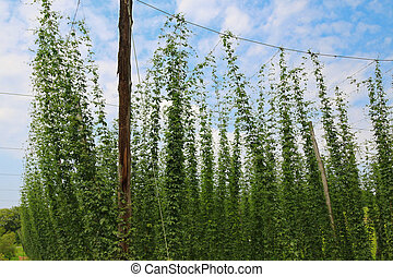Hop plants (Humulus lupulus) growing and climbing on strings...