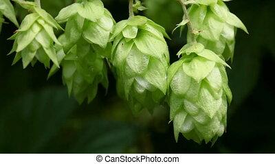 Hop. - Cones of green hops, macro.