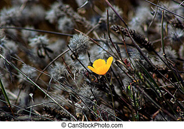 A golden poppy growing in a windy, wild field.