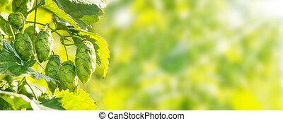 hopfen, pflanze, panorama, bokeh, hintergrund