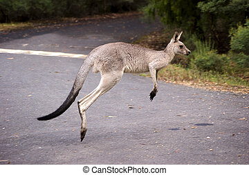 A isolated photo of a hopping kangaroo.