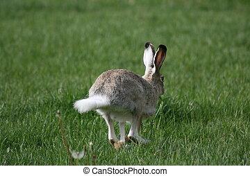 Hopping Rabbit