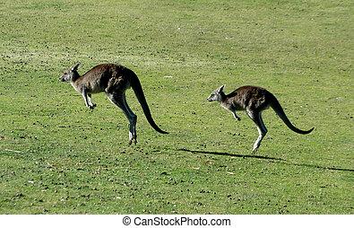 hoppning, kängurur