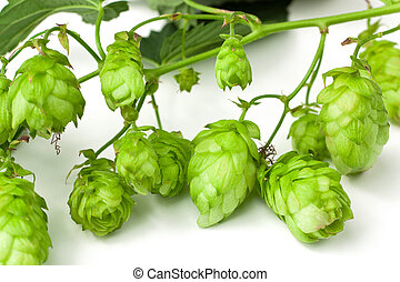 Hops branch close-up