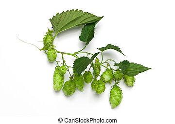 Hops branch
