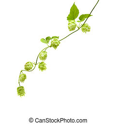 hops (Humulus lupulus) branch isolated on white background; ...