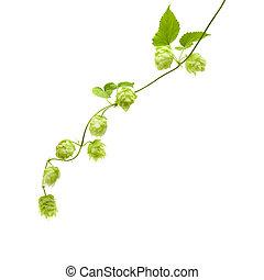 hops (Humulus lupulus) branch isolated on white background;...