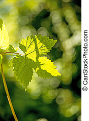hops, leaf in back light