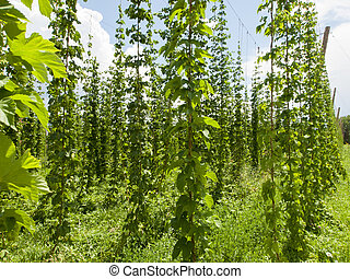Hops farm in Palisade, Colorado. Hops are used primarily as...