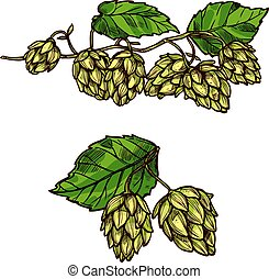 Hops plant branches, flowers and vector cones