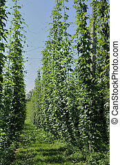 hops plantation #7, baden