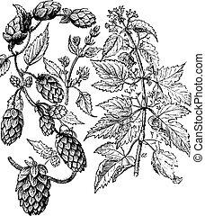 Hops, vintage engraving. - Hops, vintage engraved...