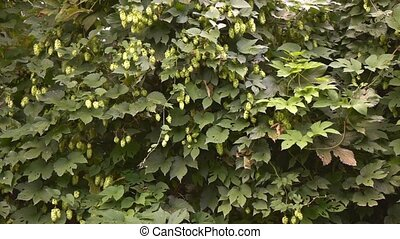 Hops waving in the wind - Hops growing with seed pods in...