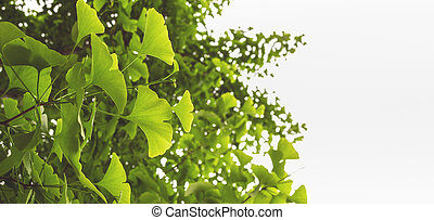 horizontal banner with ginkgo leaves