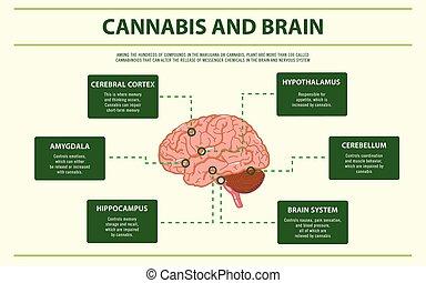 horizontal, cannabis, cerveau, infographic