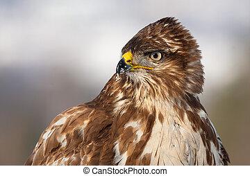 Horizontal close-up portrait of a wild common buzzard in winter