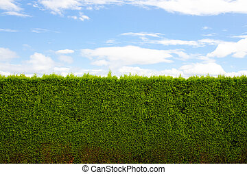 Horizontal Hedge - A green hedge and blue sky with clouds...