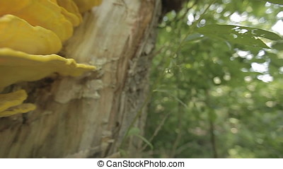 Horizontal Macro Pan to Yellow Parasitic Fungus Mushrooms