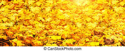 Horizontal nature banner with bright autumn maple leaves