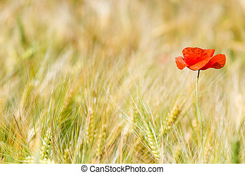 horizontal photo red poppy in a yellow wheat field in the ears