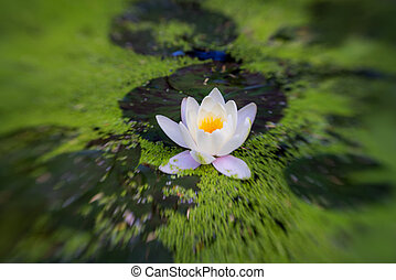 Horizontal shot of water lilypads in the pond