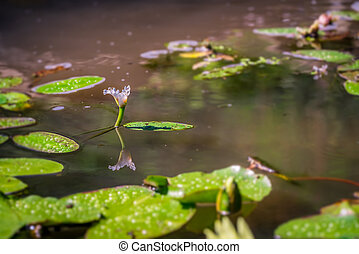 A horizontal shot of water lilypads in the pond