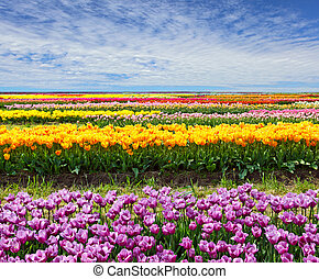 Horizontal Tulip Field - Horizontal row of tulips on the ...