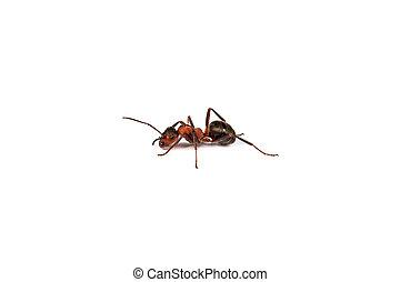 hormiga, blanco, aislado, Plano de fondo