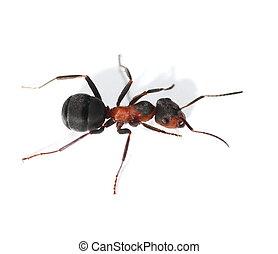 hormiga, blanco, aislado, rojo
