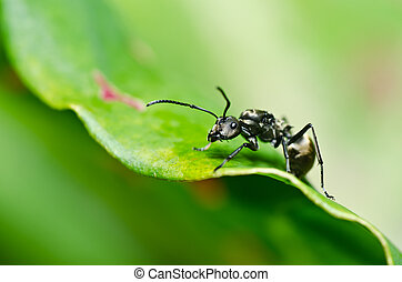 hormiga, negro, verde, naturaleza