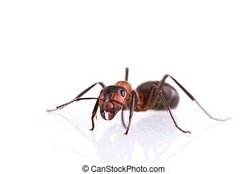 hormiga, Plano de fondo, blanco, aislado