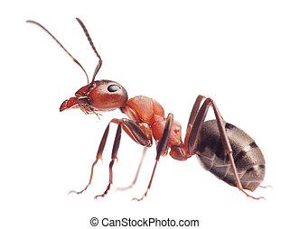 hormiga, rufa, blanco, formica