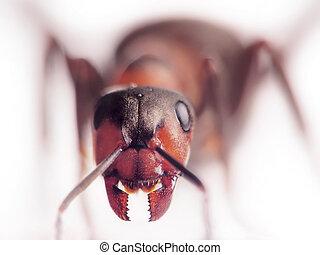 hormiga,  rufa,  formica, cara a cara