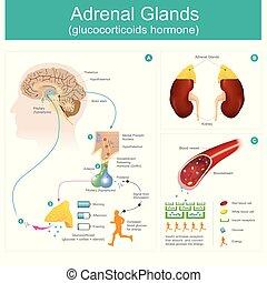 hormone., drüse, glucocorticoids, adrenal