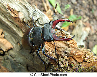 horn-beetle
