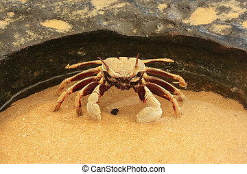 Horn-eyed ghost crab (Ocypode ceratophthalmus)