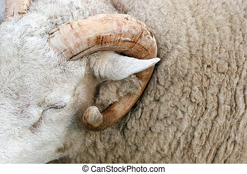 Horn of the Ram
