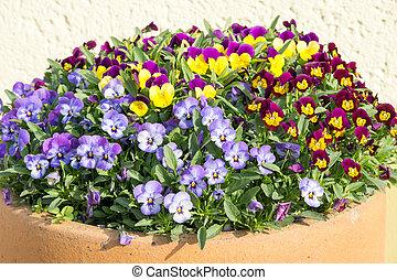 Horn violets in a planter