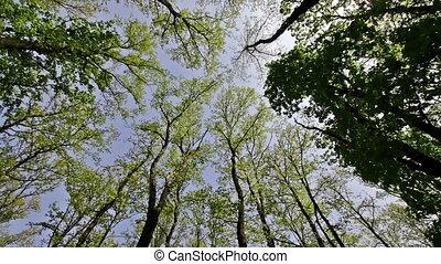 Hornbeam and oak trees