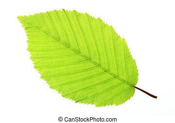 Hornbeam (Carpinus betulus) - Leaf of a hornbeam tree...