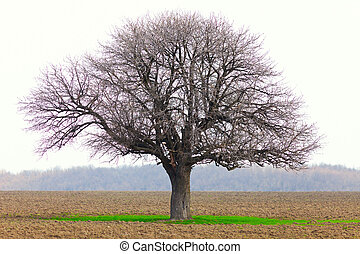 Hornbeam (Carpinus Betulus) - European hornbeam (carpinus...