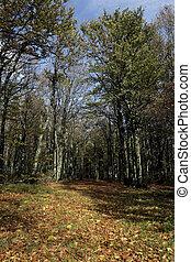Hornbeam, Carpinus betulus, woodland in France
