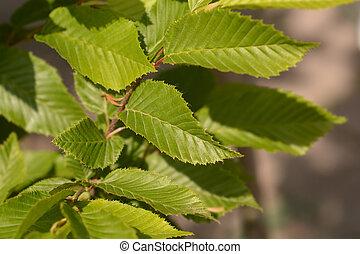 Hornbeam Fastigiata - Latin name - Carpinus betulus ...