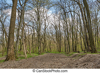 Hornbeam forest - Landscape with a beautiful hornbeam forest...
