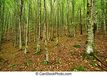 Hornbeam forest on summer - Young hornbeam forest in a sunny...