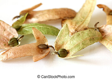Hornbeam Seeds in dry leaves with copy-space