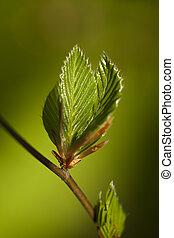 Hornbeam - new, fresh twig  (carpinus betulus) as background