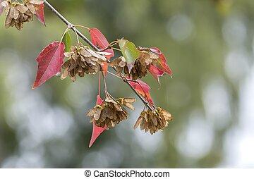 hornbeam tree at park in autumn season