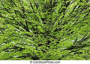 Hornbeam tree at spring - Fresh Hornbeam tree sprouting at...