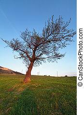 Hornbeam tree at sunset - Landscape with a big hornbeam...